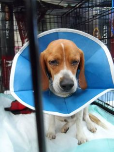 FOUND Beagle – located at Animal Resource Center