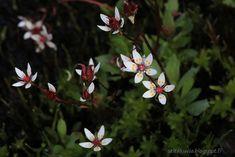 seita: Yökävely Kilpisjärvellä  Tähtirikko, aivan ihana kukka!