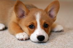 Adorabuhl corgie pup