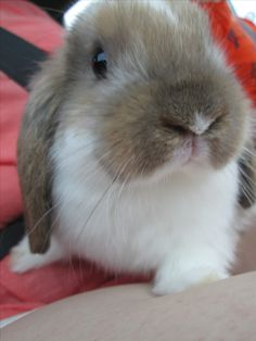 Holland Lop..I think I just died a little
