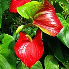Anthurium Andraeanum Seeds Indoor Potted Flowers Red Anthurium Plant Seeds 100 particles