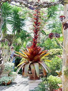 Alcantarea imperialis rubra by tanetahi, via Flickr