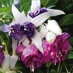 Double Lavender Fuchsia