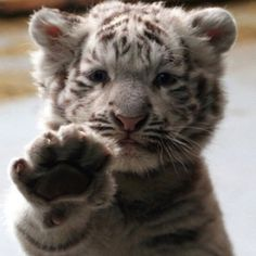 #tiger #cat #baby