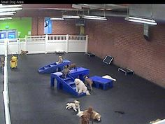 Doggy day care with web cam. FitDog in Santa Monica. Chihuahua Dogs, Pet Dogs, Dogs And Puppies, Pets, Shelter Dogs, Animal Shelter, Animal Rescue, Dog Daycare, Daycare Ideas