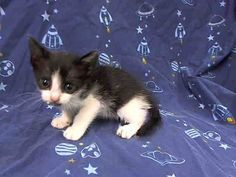 TO BE DESTROYED 8/18/14 ** BABY ALERT! ONLY 5 WEEKS OLD! came in with queen A1010359 and kitten A1010632 ** Manhattan Center My name is THEO. My Animal ID # is A1010364. I am a male black and white domestic sh mix. The shelter thinks I am about 5 WEEKS old. I came in the shelter as a STRAY on 08/13/2014 from NY 10467, owner surrender reason stated was STRAY. I came in with Group/Litter #K14-189987.