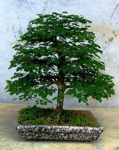 Pithecolobium Tortum Lindo Bonsai | A Floricultura – Flores e Decoração com Plantas