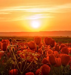 Poppies at sunset by Alovaddin (FIRE)  / 500px (Tajikistan)