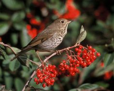 Hermit Thrush. Saw a tree of thrushes in a mountain ash on the walk home. So pretty.