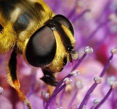Mosca das flores, Myathropa florae.           - Pixdaus