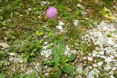 #parconaturale #prealpigiulie #friuliveneziagiulia #montagne #mountains #natura #nature #italy #canon #fotografia #photography #photoshop #focus #fiore #flower #flora #pink
