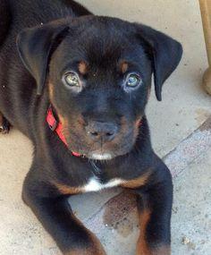 113 best german block head rottweiler pitbull mixed puppies images