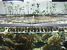 Growing mangroves enables one to decorate a tank to look like a fringing reef that surrounds an island, as seen from the ocean. In fact, this is what I tried to do with my 1500 gallon tank with the help of 40 mangroves.