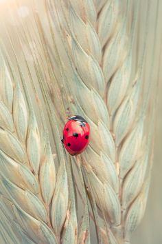 Ladybug on a spike by Sabino Parente, via 500px