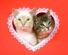 Pet owners know that the greatest way to spend Valentine's Day isn't with Prince Charming—it's with the four-legged friend who loves you unconditionally all year round. Cat Lover Gifts, Cat Lovers, Cat App, Valentines Day Cat, Funny Animals, Cute Animals, Sam And Cat, Cat Facts, Thoughts