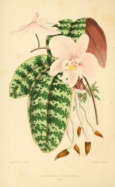 Phalaenopsis schilleriana - circa 1870
