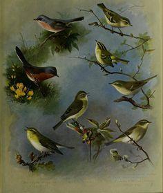 British Wildlife, Wildlife Art, Willow Warbler, Bird Artists, Historia Natural, Flower Bird, Art Clipart, Nature Prints, Small Birds