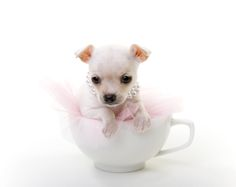 chihuahua in teacup