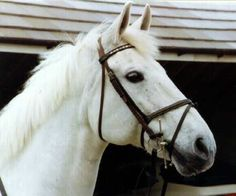 The great Milton was produced by Caroline Bradley before John Whitaker took over the ride following her untimely death in 1983. He went on to become the first show jumper to win a million pounds sterling.