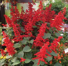 Saucy Red - Salvia