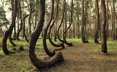 The Coolest Places On Earth: The Crooked Forest- Poland (Pictures)
