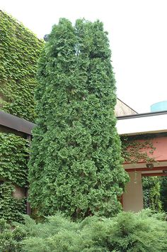 Pyramidal White Cedar (Thuja occidentalis 'Pyramidalis') | Lurvey Garden Center | Height: 20 feet | Spread: 8 feet