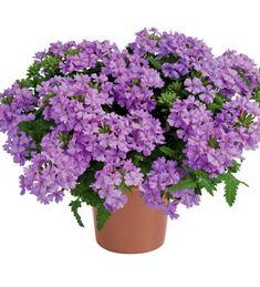 Verbena 'Vanessa Compact Lavender' Verbena, Compact, Lavender, Herbs, Plants, Garden Planning, Herb, Plant, Planets