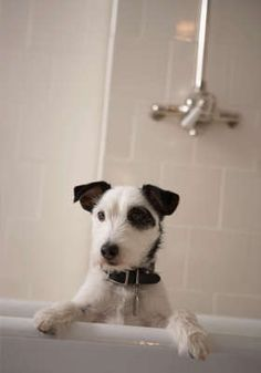 Home Remedies for Dog Skin Rash From Fleas How Soon to Bathe a Dog After Flea Treatment Home Remedies For Anxiety, Mites On Dogs, Homemade Dog Shampoo, Smelly Dog, Baking Soda Bath, Dog Boarding Near Me, Dog Wash, Flea Treatment, Dog Anxiety