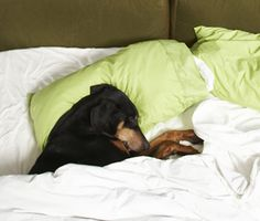 Vetstreet asks a certified animal behaviorist to explain why some canines love cuddling under the covers.