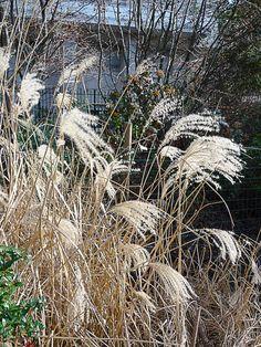 Une mauvaise herbe qui vaut bien une belle gramin e d for Quand tailler les graminees