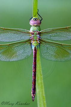 Green Darner Dragonfly - Macro Photo By: Mary Konchar