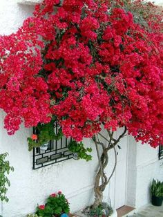 bougainvillea plants in pots - bring in for winter if you live in a colder climate. Garden Trees, Garden Plants, Plants In Pots, Love Flowers, Beautiful Flowers, Bougainvillea Tree, Flowering Trees, Tropical Garden, Garden Inspiration