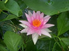 Water Lily - Photography by Aimee Maher