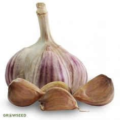 Virus free garlic for planting, proven to grow well in UK conditions from the UK's garlic experts on the Isle of Wight. Garlic Farm, Wild Garlic, Garlic Seeds, Garlic Bulb, Grow Your Own, Vegetables, Marshalls, Gardening, Long Shelf
