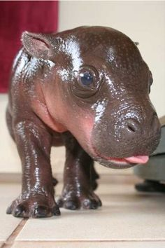 Awwww, so ugly in such a cute way! A baby hippo inspects the camera.