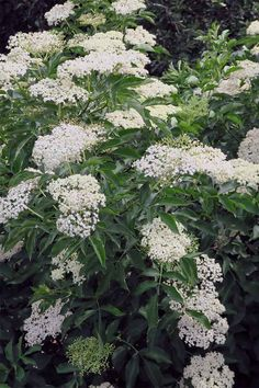 The spectacular and profuse white blooms of the elderberry bush are reminiscent of snowball hydrangeas: https://gardenerspath.com/plants/fruit/grow-elderberries/