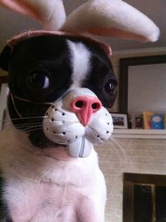 Boston terrier bunny.