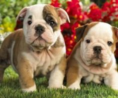 Cute brindle bulldog puppies