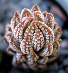 Succulent Haworthia Reinwardtii Variegata