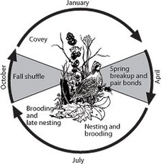 Annual cycle and major events in the life history of bobwhite quail.
