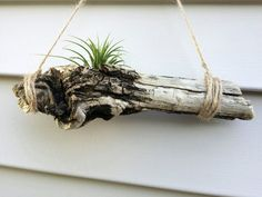 Driftwood air plant holder 9 inches long, with hole for a plant - air plant…