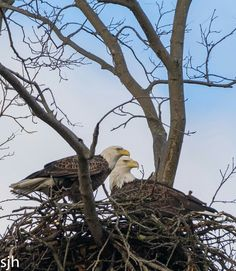Pair of Eagles Eagles, Bald Eagle, Pairs, Animals, Animais, Animales, Eagle, Animaux, Animal