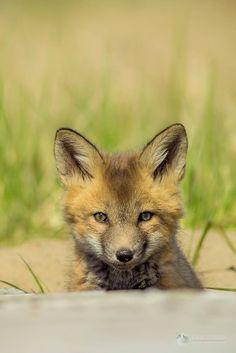 Cape Breton, Foxes, Wildlife, Island, Nature, Animals, Naturaleza, Animales, Animaux