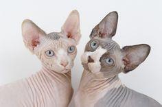 Hairless (sphynx) cats... LOVE!!!