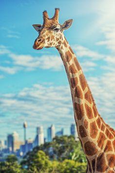 Sydney Giraffe by Steven Markham on 500px