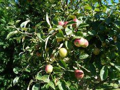 Villa, Apple, Fruit, Apple Fruit, Fork, Villas, Apples