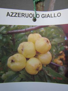Azaroldorn - Crataegus azarolus  Gelb  - winterharte Pflanze 180cm - Früchte