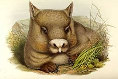 John Gould, Hairy-nosed Wombat, Phascolomys lasiorhinus,1845‒1863.The mammals of Australia, London. Hand-coloured lithography. After a watercolour ofJoseph Wolf. Via University Library Heidelberg.
