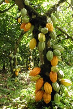 Fruit Plants, Fruit Garden, Fruit Trees, Trees And Shrubs, Trees To Plant, Cocoa Fruit, Fruit Benefits, Fruit Photography, Unique Trees
