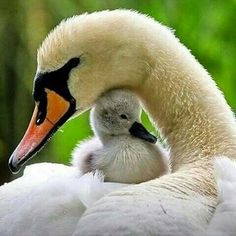 Mama & Baby Swan - Squee daily at these cute animals and the absolute cutest animal pics and gifs ever known to man. Pretty Birds, Beautiful Birds, Animals Beautiful, Beautiful Swan, Simply Beautiful, Majestic Animals, Beautiful Scenery, Beautiful Images, Beautiful Things